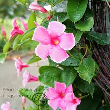heart rocks in my pocket a barb wire wreath u0026 mandevilla