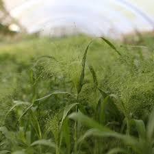 fiber optic grass frosted explosion floret shop