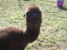 wtf alpaca meme generator captionator caption generator frabz