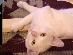 white cats with blue eyes u0026 gold eyes new pop music cute youtube