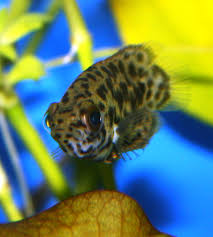 absolutely fish blogs leopard ctenopoma the brown fish with a