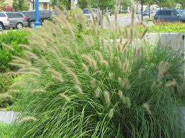 garden tough landscape grasses for shade and beautiful ornamental