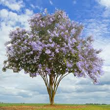 Tree With Purple Flowers Flowering Trees U0026 Small Ornamental Trees Perfect For Your Area