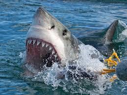 biggest myth about sharks debunked business insider