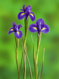 iris flowers iris flowers iris flowers iris and flowers