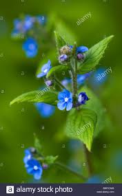 small blue flowers of brunnera macrophylla false forget me not or