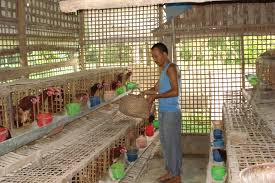 Backyard Poultry In India Livestock Sector Development In Assam Vethelplineindia Co In