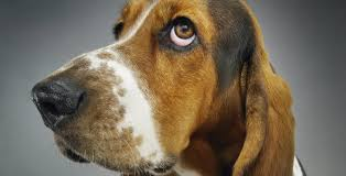 afghan hound least intelligent the world u0027s 10 least intelligent dog breeds