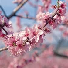 Peach Flowers The 25 Best Peach Blossom Flower Ideas On Pinterest