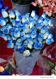 white and blue roses photograph of blue and white roses