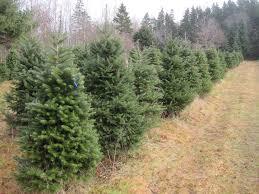 christmas trees watts tree farm blog
