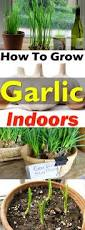 how to grow garlic indoors growing garlic indoors balcony