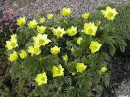 pulsatilla alpina ssp apiifolia north american rock garden society