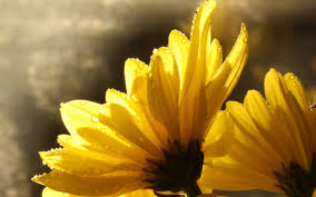 yellow daisy wallpapers wet daisy hd wallpapers