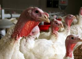 talking turkey bird flu may bite supplies this thanksgiving