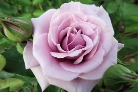 Lavender Roses Meaning Of Roses Different Rose Color Meaning U2013 Dgreetings