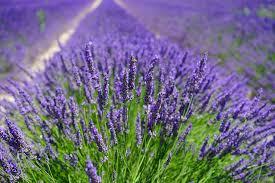 fiori viola co di lavanda fiori viola 盞 foto gratis su pixabay
