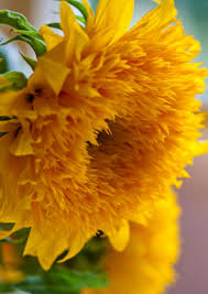 teddy sunflowers top 6 flowers best grown from seed sown right into the soil the