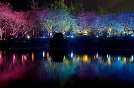 taiwan s dazzling cherry blossom trees light up at