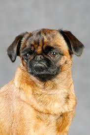 banana joe affenpinscher pedigree 70 best griffon dogs images on pinterest brussels griffon