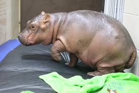 Hippo Memes - meet fiona the baby hippo whose full time job is to be adorable