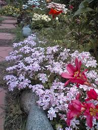 gardens in japan creeping phlox shiba zakura nature in japan