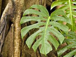 Tropical Rainforest Plant Species List - best 25 rainforest plants ideas on pinterest plants of the