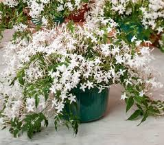 fragrant indoor plants jasmine in a hanging pot jasmine white flower farm and flower farm