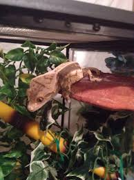 Halloween Crested Gecko Morph by Coconut On His Mushroom Ledge From Pangea Reptile Crested