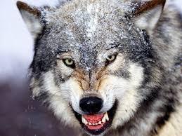 Mad Wolf Meme - 26 best wolf images on pinterest werewolf wild animals and