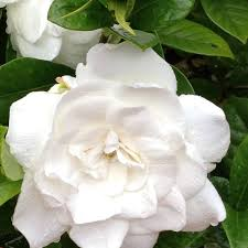 Gardenias by Gardenias Plant Care And Collection Of Varieties Garden Org