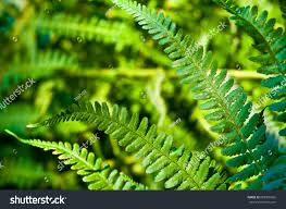 green leaves fern plant up stock photo 689306026