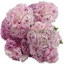 bulk peonies peonies wedding flowers buy wholesale peonies in bulk pink