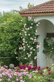 tending to the climbing roses making it lovely