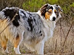 australian shepherd cattle dog blue merle australian shepherd dogs pinterest blue merle