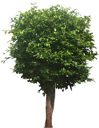 tropical plant pictures ficus microcarpa banyan tree