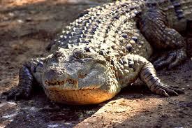 philippine crocodile wikipedia