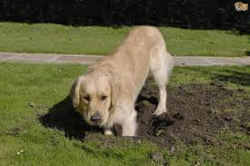 how to stop your dog from destroying your garden pets4homes