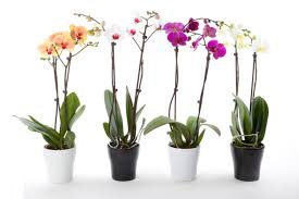 orchids care house plant orchids care archives lime garden