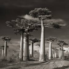 ancient trees by beth moon abbeville press