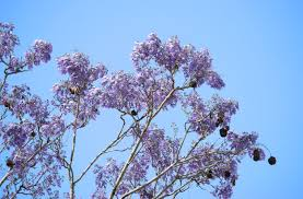 two free photos of purple jacaranda in front of a blue sky www