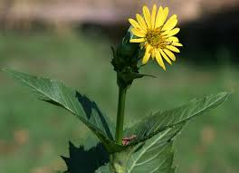 native plants of michigan silphium perfoliatum wikipedia