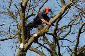 dryad tree specialists tree surgeons consultants in guildford