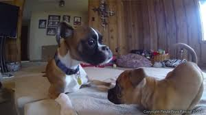3 legged boxer dog annie and duncan lou who two legged boxers youtube