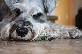 schnauzer hair styles grooming a miniature schnauzer be sure it s the right way