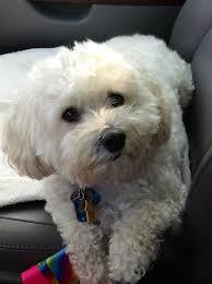 haircutsfordogs poodlemix multipoo dog 3 cute stuff pinterest dog maltipoo haircuts