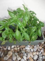 learning to garden u2013 basil florida hillbilly