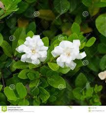 gardenia jasminoides cape jasmine flower on white background