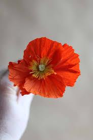 diy paper icelandic poppies u2013 design sponge