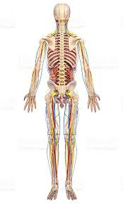 Human Anatomy Full Body Picture Circulatory System Of Male Back Side Full Body Stock Photo